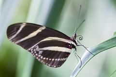 Stock Photo of Zebra Longwing Butterfly, (Heliconius charitonius), perched on a leaf, close-up