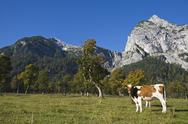 Stock Photo of Austria, Tirol, Karwendel, Cows on meadow