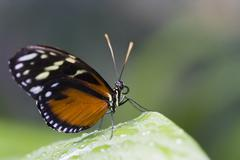 Stock Photo of Heliconius ismenius on leaf, close-up