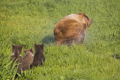 European Brown Bear With Cubs, (Ursus arctos) Stock Photos