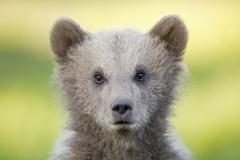 European Brown bear cub (Ursus arctos), close-up Stock Photos