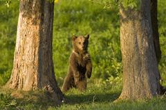 European Brown bear (Ursus arctos) standing on hind legs, close-up Stock Photos