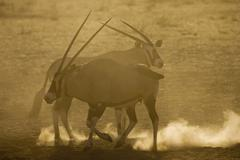 Oryx gazelles, close-up - stock photo