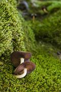 Austria, Tirol, Karwendel, Honey Mushrooms, armillariella mellea Stock Photos