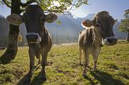 Stock Photo of Austria, Tirol, Karwendel, Calfs on pasture