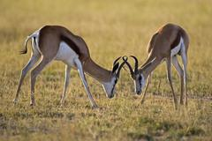 Africa, Botswana, Two springbok (Antidorcas marsupialis) fighting Stock Photos