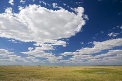 Africa, Botswana, Springbok Herd (Antidorcas marsupialis) Stock Photos
