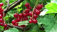 Stock Video Footage of a branch of the red currant swaying in the wind