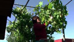 Woman binds the vine Stock Footage
