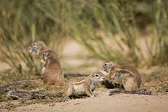 Africa, Botswana, African ground squirrels (Xerus rutilus) - stock photo