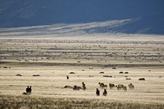 Africa, Namibia, Aus, Wild horses grazing Stock Photos