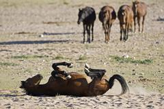 Africa, Namibia, Aus, Horse lying in dirt, scratching back Stock Photos