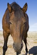 Africa, Namibia, Aus, Wild Horse, portrait, close-up Stock Photos