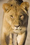 Stock Photo of Africa, Namibia, Kalahari, Lioness (Panthera leo), close-up