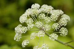 Acanthus, Heracleum sphondylium, close-up Stock Photos