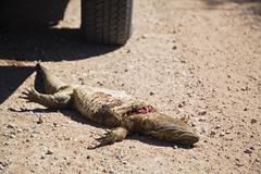 Africa, Namibia, Dead lizard, Roadkill, close-up - stock photo
