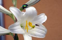blooming lily - stock photo