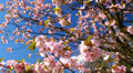 Flowers on branches of blossoming sakura. Footage