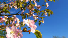 Flowers on branches of blossoming sakura. Stock Footage