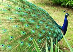Male Peacock 2 - stock photo