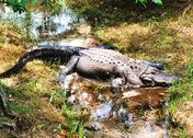 Stock Photo of Alligator