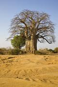 Africa, Sambia, Baobab Tree on savannah - stock photo