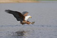Africa, Botswana, African fish eagle (Haliaeetus vocifer) swoops down for a - stock photo