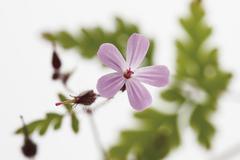 Herb robert, close up - stock photo