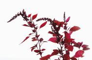 Stock Photo of Amaranth against white background