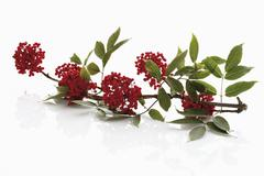 European red elder on white background - stock photo