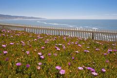 USA, California, Ice plant flowers in meadow (Carpobrotus edulis) - stock photo