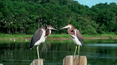 Two Young Herons Stock Footage