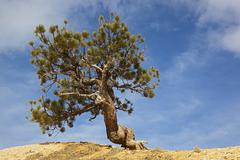 USA, Utah, Bryce Canyon National Park, Limber Pine (Pinus flexilis) Stock Photos