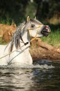 gorgeous stallion which is bathing in river - stock photo