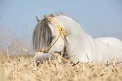 gorgeous white stallion of welsh mountain pony in corn field - stock photo