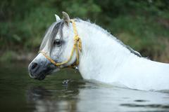 potrait of gorgeous stallion which is swimming in river - stock photo