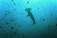 Galapagos-saaret, Ecuador, Scalloped Hammerhead Shark (Sphyrna lewini) Kuvituskuvat