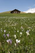 Italy, South Tyrol, Meadow saffron (Colchicum autumnale) abloom - stock photo