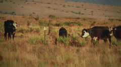 Cows in Field - stock footage