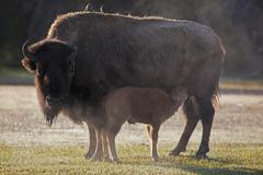 Stock Photo of USA, Yellowstone Park, American bison (Bison bison) with suckling calf