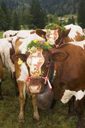 Cattle adorned for bringing down from pastures - stock photo