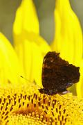 Germany, Bavaria, Peacock butterfly (Inachis io) on sunflower (Helianthus - stock photo