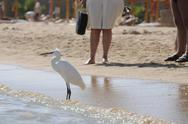 Stock Photo of Egypt, Hurghada, Median Egret (Egretta intermedia) on beach, persons in