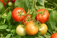 Tomatoes bunch close up Stock Photos