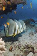 Egypt, Red Sea, Circular batfish (Platax orbicularis) Stock Photos