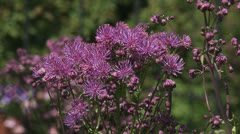 Thalictrum aquilegiifolium first bloom + buds Stock Footage
