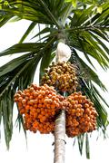 areca or betel nut ripe on tree - stock photo