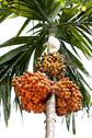Stock Photo of areca or betel nut ripe on tree
