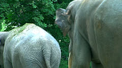 Asian elephant (Elephas maximus) of South and Southeast Asia Stock Footage