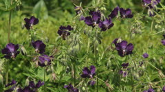 Geranium phaeum, Dusky Cranesbill in flower bed + honey bee Stock Footage